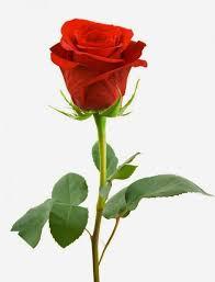 full hd images of rose. Exellent Full SingleRedRosesWhiteBackgroundBeatifullFullHDWallpaper54843 Intended Full Hd Images Of Rose