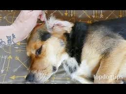 home remes for ear mites in dogs