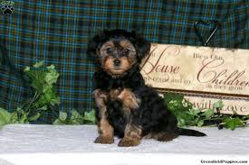 cutie morkie poo puppy