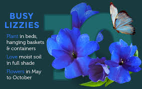 busy lizzies have long been a garden favourite but in recent years have been badly affected by powdery mildew so at van meuwen we now only offer the mildew