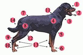 Canine Muscle Chart Dog Anatomy Wikipedia