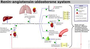 The Renin Angiotensin Aldosterone System Renin Release
