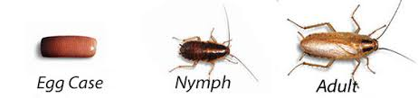 Image result for german cockroach