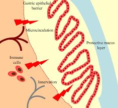 physiological gastric mucosal barrier