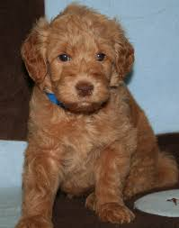 brown miniature goldendoodle