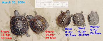 Headstarting Box Turtles And Juvenile Growth Rates