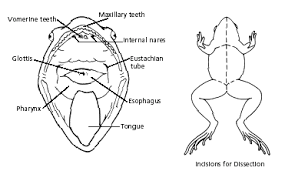 Parts Of A Frog Frog Dissection Biology Junction