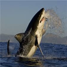 great white shark jumping. Perfect Great Jumping Great White Shark With Great White Shark Jumping E