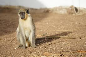 Laser Light To Scare Monkeys Monkey Experiments Offer Clues On Origin Of Language