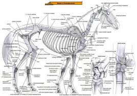 Anatomy Of The Horse Bones Muscles 1 Chart