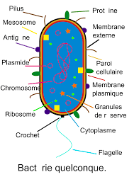 bacteria diagram   clipart best    bacteria diagram labeled   clipart best