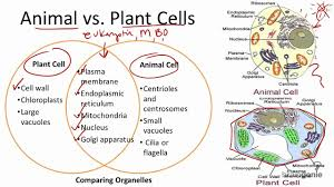Organelles In Plant And Animal Cells Venn Diagram 2 1 7 Animal Vs Plant Cells