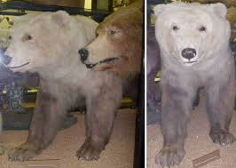 grolar bear size and i think to myself what a wonderful world creature feature