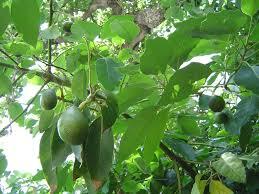 Growing Avocados Sustainable Gardening Australia