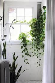 Climbing Plants Indoors Creeping Fig Climbing Plants In The Indoor Climbing Plants Indoor