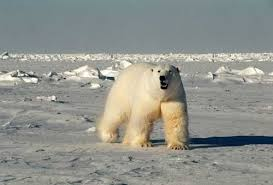 Is a polar bear's fur <b>transparent</b>? | Library of Congress