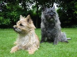 cairn terrier. Exellent Terrier With Cairn Terrier