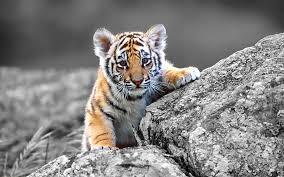 cute baby tiger.  Cute Baby Tigertiger Farm ThailandThailandbaby Animalsmost Adorable Baby  Animals Throughout Cute Tiger E