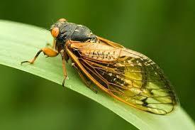 Звук летней цикады magicicada cassini mp голос песня слушать  17 летняя цикада magicicada cassini голос звук песня в mp3