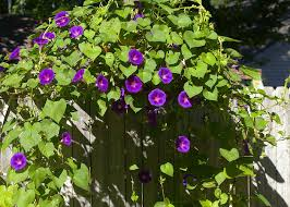 Image result for morning glory photos