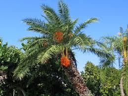 Yellow Coconut On Palm Tree Golden Image U0026 Photo  BigstockPalm Tree Orange Fruit