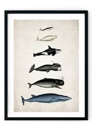 Whale Scale Chart Whale Size Chart Giclee Print