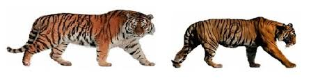 siberian tiger vs bengal tiger. Brilliant Siberian Picture Inside Siberian Tiger Vs Bengal