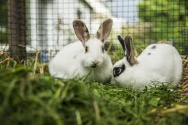 two rabbits in a rabbit hutch