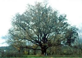 illinois state tree