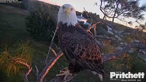 pritchett eagle cam. Wonderful Eagle Watch Live Dick Pritchett Real Estate Throughout Eagle Cam R