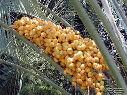 Butia CapitataPalm Tree Orange Fruit