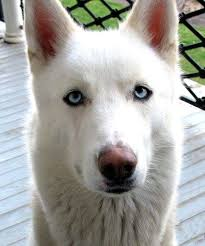 white husky german shepherd wolf mix. White German Shepherd Wolf Mix Puppy Huskies Mixed With Pets For UPets In Husky