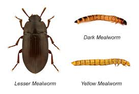 mealworms types