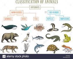 Bear Classification Chart Classification Of Animals Reptiles Amphibians Mammals Birds