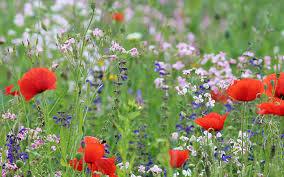 a wildflower meadow in the garden
