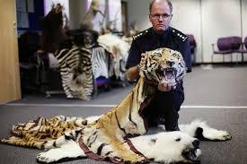 grant miller cites lead at border force holding a tiger pelt