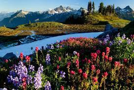 Alpine Park Flowers Flowers Grass Snowy Rainier Meadow Alpine Washington