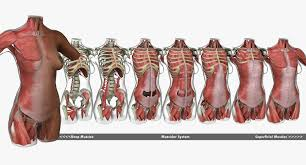 Muscles of the neck and torso classic human anatomy in motion the. Muscle Anatomy Female Torso African American 3d Model 249 Ma Free3d