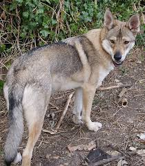 the northern inuit a breed of dog but meant to look like a wolf