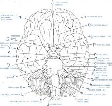 c790543_131774b8515__8000_00000158 exercise 19 gross anatomy of the brain and cranial nerves on the most dangerous game worksheet