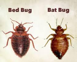 bat bug vs bed bug