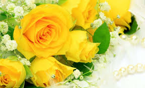 stunning yellow roses natural beauty images hd wallpapers