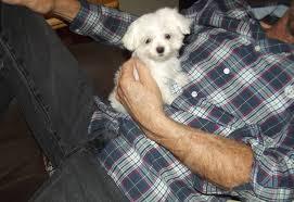 maltese puppies maltese puppies
