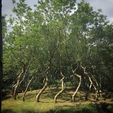 Ash Dome A Secret Tree Artwork In Wales Planted By David Nash In