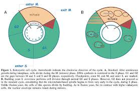 Dna Replication Definition Cell Cycle Dna Replication Repair And Recombination In The