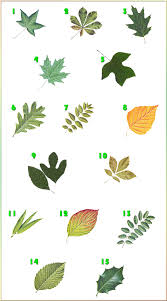 Tree Leaf Identification Chart Tree Identification Biological Science Picture Directory