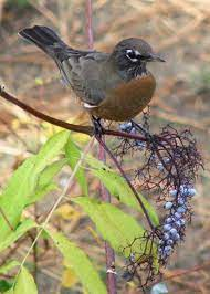 Bird Lady Blog... by Sherrie Steele | American robin, Wildlife habitat,  List of birds