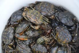 tautog fishing how to hook green crabs onto togzilla jigs