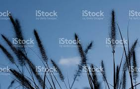 tall grass silhouette. Brilliant Tall Tall Grass Silhouette Against Blue Sky Royaltyfree Stock Photo Throughout