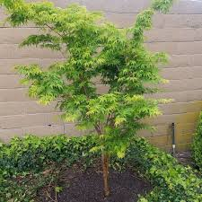 c bark japanese maple